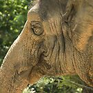 Asian Elephant by G. Patrick Colvin