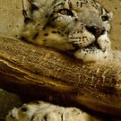 Snow Leopard by G. Patrick Colvin