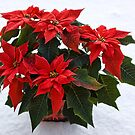 Pointsettia In The Snow by Lynne Morris