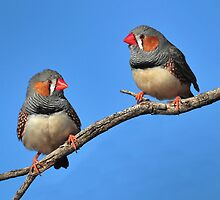 Australian Zebra Finches. by Alwyn Simple