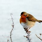 Robin by nikigood27