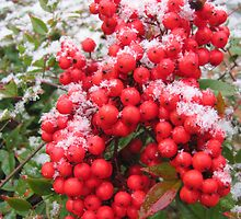 Berries in the snow by Gina Tibitts
