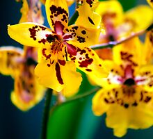 Christmas Day Orchids by bcboscia410