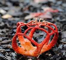 Red Cage Fungus by Erin Anderson