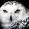 Snowy Owl by Alain Turgeon