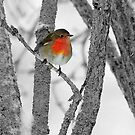 Robin,the colourful guest by Alan Mattison