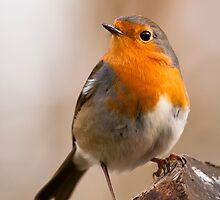 Robin by Willem Hoekstra