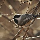 Chickadee by KatsEyePhoto
