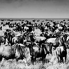 Herds of Wildebeast. by Amyn Nasser
