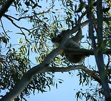 Koala, Coombabah Lakelands, Gold Coast by krista121