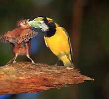 Male Golden whistler & Chick by DEREK HILTON