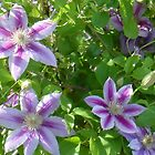 Day of the Clematis by EleanorRoosevel