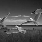Gulls in Flight BW by Randall Nyhof