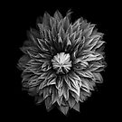 Monochrome Clematis Blossom by Oscar Gutierrez
