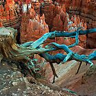 Tree Stump in Bryce Canyon by Randall Nyhof