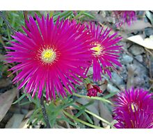 Pink Pointy  Petals Photographic Print