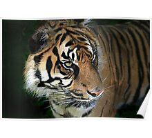The Amur Tiger . Poster
