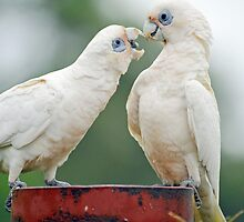 Short Billed Corellas In Our Yard. Brisbane, Queensland, Australia  by Ralph de Zilva