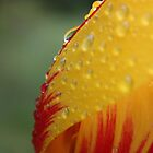 Tulip in Dew by Peter Waller