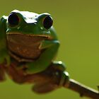 Red-rimmed Monkey Tree Frog (Phyllomedusa boliviana) - Bolivia by Jason Weigner