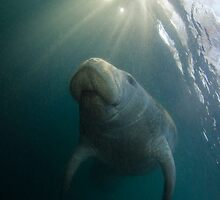 Manatee Sunrise by Todd Krebs