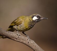 At the Waterhole ... White-eared Honeyeater by mosaicavenues
