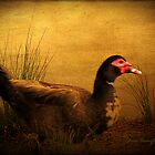 Maurice the Muscovy by Chris Armytage