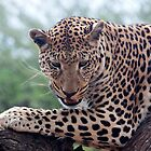 big cat up a tree by mike parker