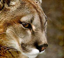 A pensive Puma portrait by buttonpresser