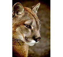A pensive Puma portrait Photographic Print