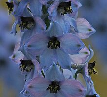 Delphinium . Norway . by Brown Sugar. Views - 297. by AndGoszcz
