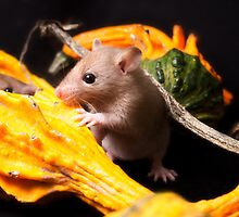 Cute rat among squashes by PhotographerAri