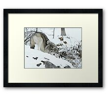 Crouching Timber Wolf Framed Print
