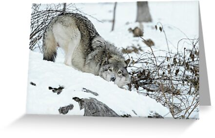 Crouching Timber Wolf by Bill Maynard