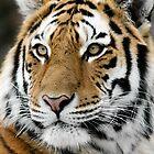 Siberian Tiger by Alain Turgeon