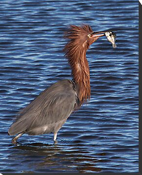 Reddish Egret by Michael  Moss