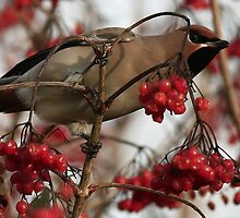 The Waxwing by snapdecisions
