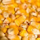 Corn that made Nebraska Famous by Chris Pultz