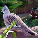Crested Pigeon by Michael John
