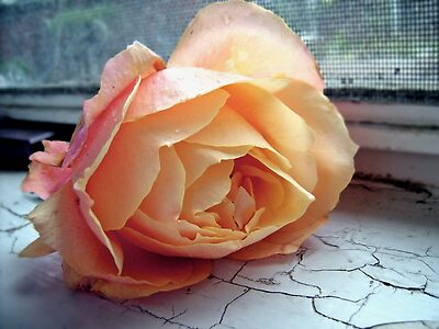Peach Rose on Cracked Paint