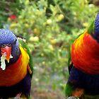 Rainbow Lorakeet - Parrots, NSW, Australia by Angela Gannicott