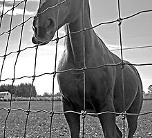 Behind the Fence - Dunrobin Ontario by Debbie Pinard