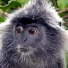 Silver Backed Monkey, Bako National Park, Borneo by suellewellyn