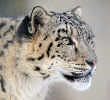 Snow Leopard by Alain Turgeon