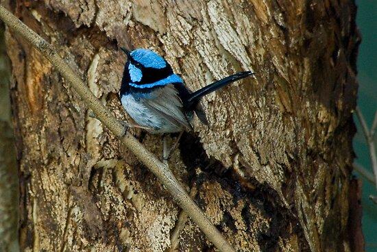 'All Smart in Blue' - Supurb Fairy Wren  by Eyes-of-Sol