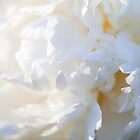 The Colour White - Peony by Carole Anne Ferris