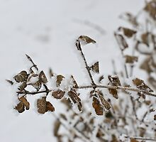 Frosted Leaves by Crystal Zacharias