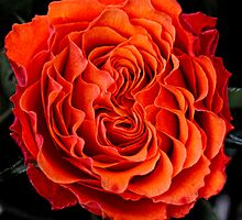 Apricot  Rose by Karen  Betts