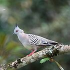 Crested Pigeon by triciaoshea