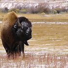 Buffalo wild by Tim Harper